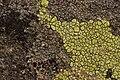 Lichen (28129845777).jpg