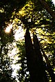 Light through the Redwoods (293688002).jpg