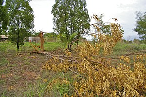 Lightning strike - A eucalyptus tree that was struck by lightning, while two nearby pine trees were untouched, Darwin, Northern Territory, Australia.