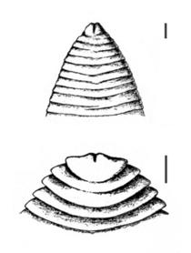 Ligula and Schistocephalus anterior.png