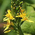 Ligularia stenocephala (flower s3).JPG
