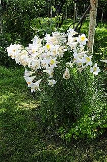 Lilium regale (02).JPG