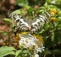 Lime Butterfly (Papilio demoleus) at Hyderabad W 241.jpg