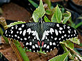 Lime Butterfly (Papilio demoleus) in Hyderabad, AP W IMG 0544.jpg