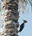 Lineated Woodpecker (Dryocopus lineatus) male (31805802966).jpg