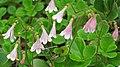 Linnaea borealis americana (twinflowers) (8 July 2015) (Firehole Canyon, Yellowstone, Wyoming, USA) 3 (20687214692).jpg
