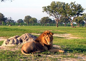 Hwange National Park - Lion resting near a termite mound
