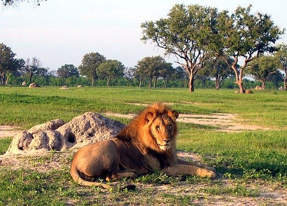Lion-hwange.jpg