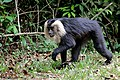 Lion Tailed Macaque (26852770315).jpg