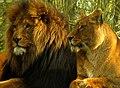 Lions of Longleat - geograph.org.uk - 692846.jpg