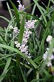 Liriope spicata 5729.jpg