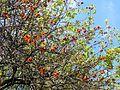 Lisbon botanical garden 15-Erythrina sp..JPG