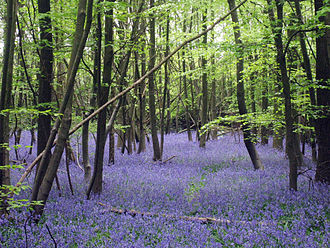 Hyacinthoides non-scripta - A bluebell wood in Kent
