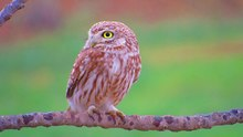 Soubor:Little Owl,South Hebron.webm