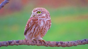 ملف:Little Owl,South Hebron.webm