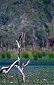 Little Pied Cormorant (Phalacrocorax melanoleucos) (9839153984).jpg