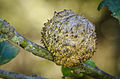 Live Oak Apple Gall Wasp (Callirhytis quercuspomiformis) (10754052095).jpg