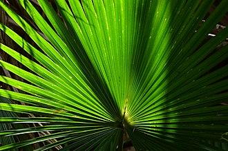 Livistona australis - Image: Livistona australis 8601289220 186afa 3316 o