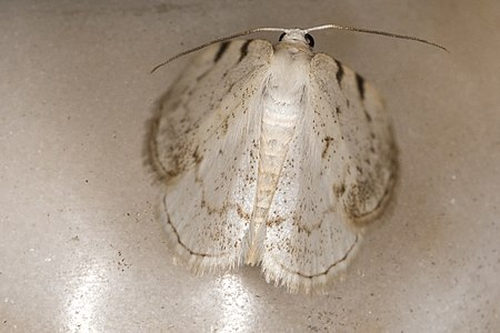 Lomographa bimaculata, Lodz(Poland)03(js).jpg