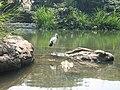 Lone Bird-Ranganathittu Bird Sancturay,Mysore.jpg