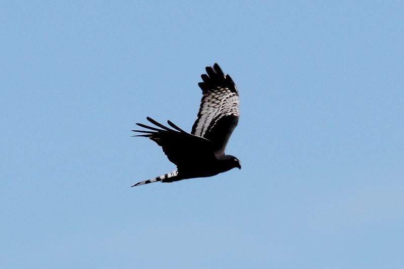 File:Long-winged Harrier (Circus buffoni) (15771587358).jpg