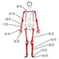 Long bones - anterior view - with legend zh.png