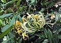 Lonicera japonica 15a.JPG