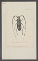 Lophonocerus - Print - Iconographia Zoologica - Special Collections University of Amsterdam - UBAINV0274 033 24 0004.tif