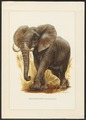 Loxodon africanus - 1967 - Print - Iconographia Zoologica - Special Collections University of Amsterdam - UBA01 IZ22000078.tif