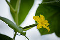 Lufa Farms Flowering Lebanese Cucumber.jpg