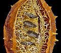 Luffa operculata 08 (cropped).JPG