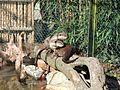 Lutrogale perspicillata in La Bourbansais Zoo 01.JPG