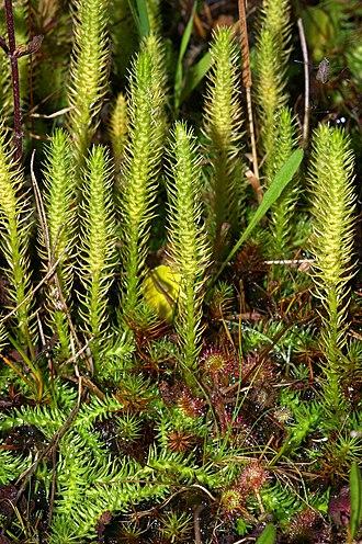 Pteridophyte - Lycopodiophyta: Lycopodiella inundata