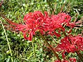 Lycoris radiata Gleam1.jpg