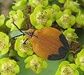 Lycus beetle on Euphorbia ingens (4442096813).jpg