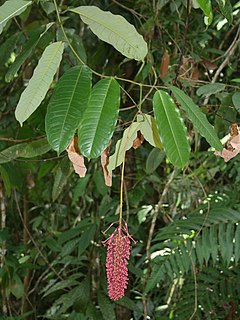 Mabea occidentalis 2.jpg