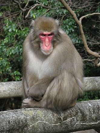 Japanese macaque - Image: Macaca fuscata fuscata 1