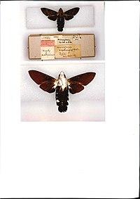 Macroglossum buruensis holotype (Indonesia, Buru) (CMNH).jpg