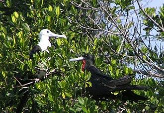 Long Key State Park - Image: Magnificent Frigate Birds Long Key State Park