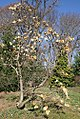 Magnolia denudata 4zz.jpg