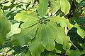 Magnolia hypoleuca ×tripetala JPG1Fe.jpg