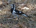 Magpie-lark ( Grallina cyanoleuca) female - Flickr - Lip Kee.jpg