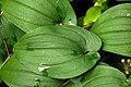 Maianthemum.bifolium4.-.lindsey.jpg
