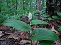 Maianthemum canadense-Rum River Nature Area.jpg