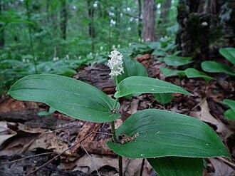 Maianthemum canadense - Maianthemum canadense