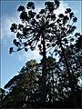 Maior reserva de araucárias do Estado de São Paulo, o Horto Florestal funciona como um refúgio dentro da cidade. - panoramio.jpg
