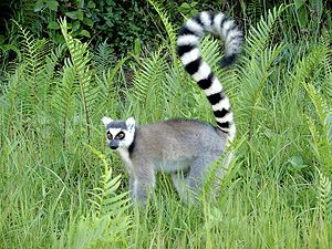 Wildlife of Madagascar - A Ring-tailed lemur (Lemur catta), the most familiar of Madagascar's numerous species of lemur.