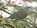 Malagasy Turtle Dove RWD2.jpg