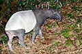 Malayan Tapir (Tapirus indicus) (8729168612).jpg