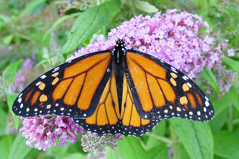 File:Male-monarch.jpg